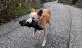 Una perrita lleva el cuerpo calcinado de su cría